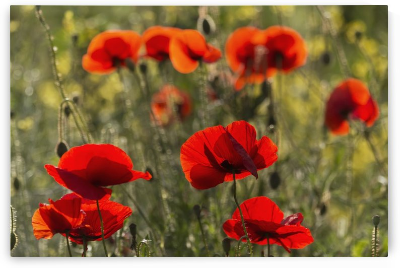 Red poppy (Papaver rhoeas); Upper Rhine Valley, Germany by PacificStock