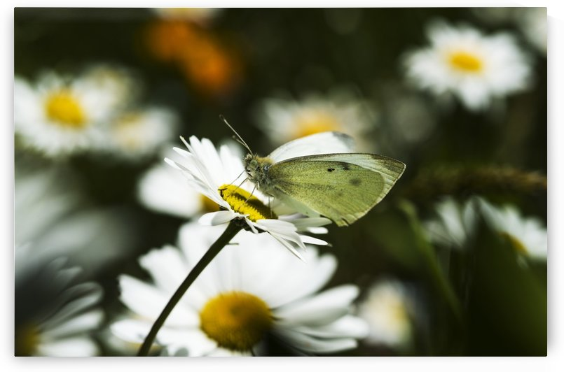 A Cabbage White Butterfly rests on a daisy; Astoria, Oregon, United States of America by PacificStock