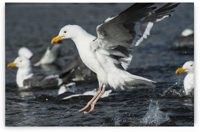 A Western Gull (Larus occidentalis) frolics in Ecola Creek; Cannon Beach, Oregon, United States of America by PacificStock