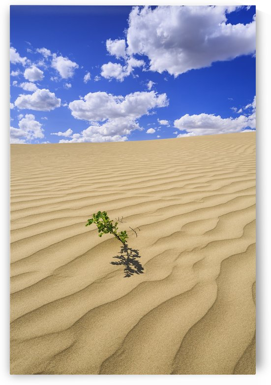 Lone plant in the Great Sandhills, near Sceptre; Saskatchewan, Canada by PacificStock