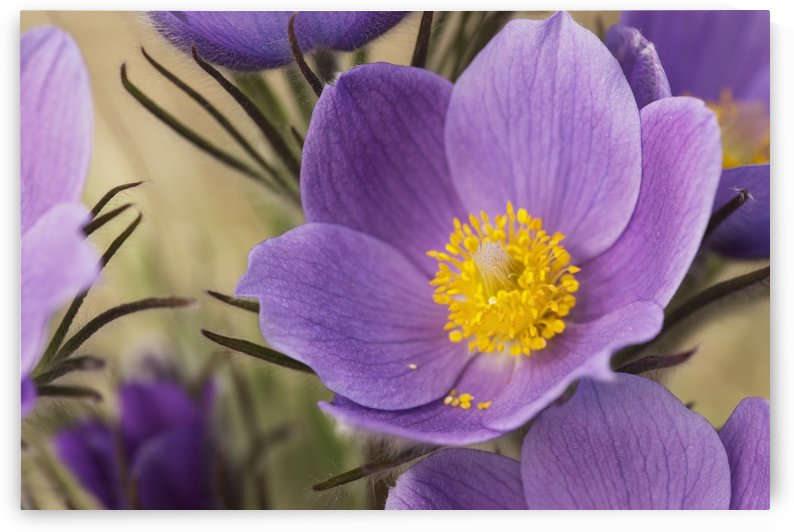 Crocus; Yukon, Canada by PacificStock