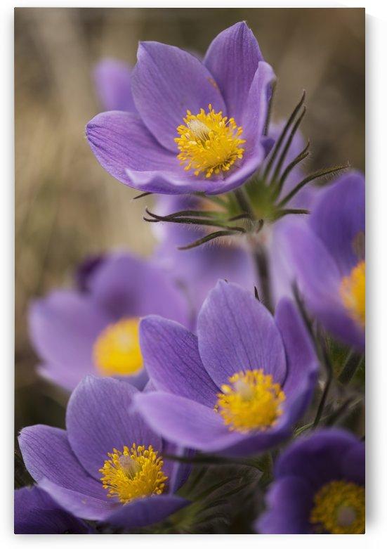 Purple crocus; Yukon, Canada by PacificStock