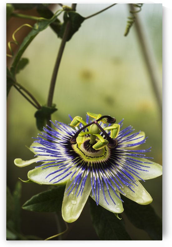 Passion flower blooms in a greenhouse; Astoria, Oregon, United States of America by PacificStock