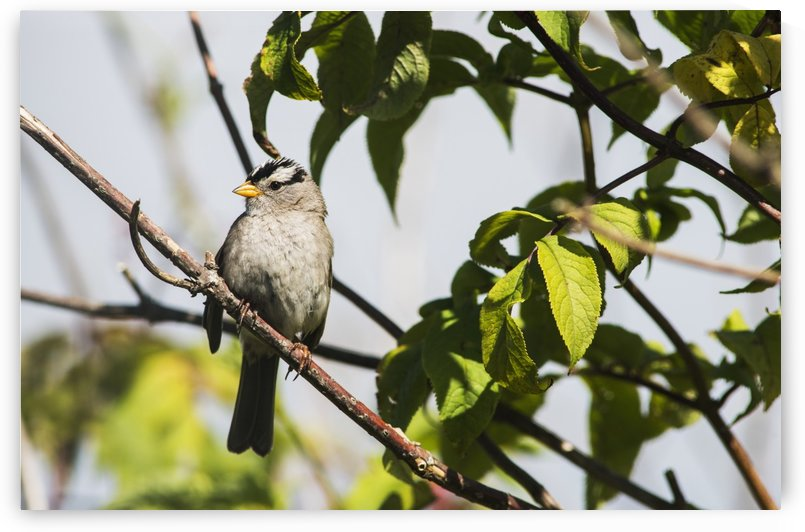 A White-crowned Sparrow (Zonotrichia leucophrys) perches in a tree; Astoria, Oregon, United States of America by PacificStock