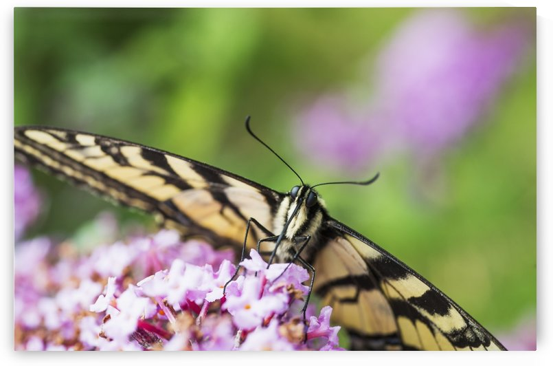 A swallowtail butterfly seeks nectar on a butterfly bush; Astoria, Oregon, United States of America by PacificStock