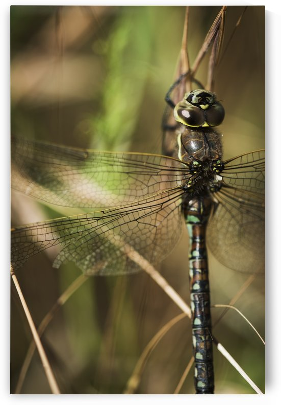 A dragonfly rests in the grass; Ridgefield, Washington, United States of America by PacificStock