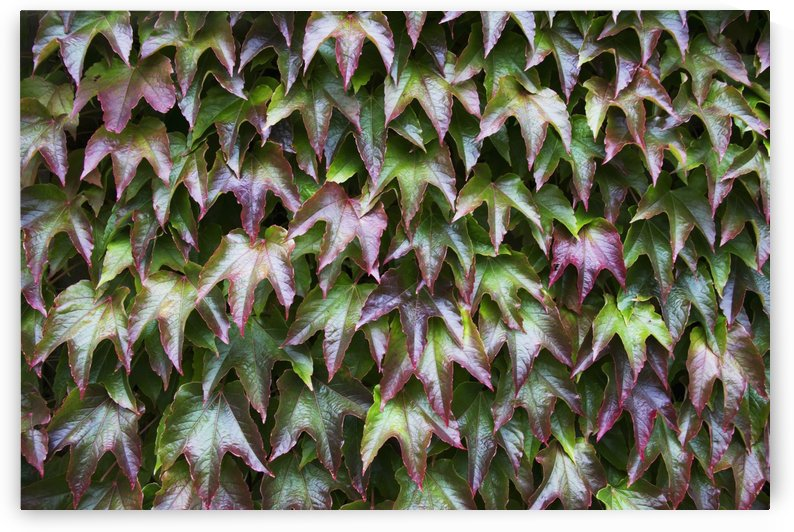 Foliage with red and green leaves; Northumberland, England by PacificStock