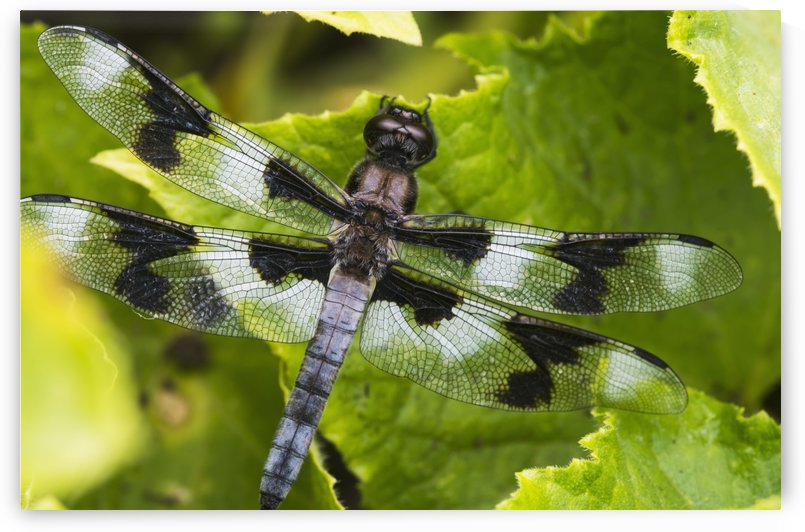 A dragonfly warms up in a vegetable garden; Astoria, Oregon, United States of America by PacificStock