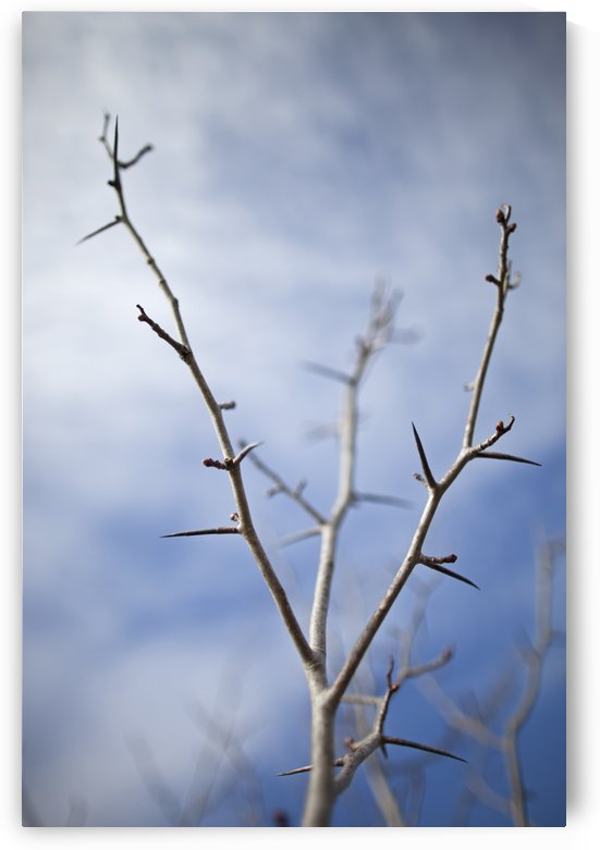 Tree with buds in springtime; Milton, Ontario, Canada by PacificStock
