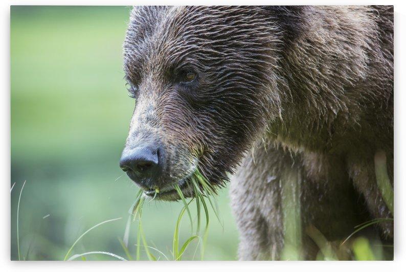 Grizzly Bear (Ursus Arctos Horribilis), Khutzymateen Sanctuary, near Prince Rupert; British Columbia, Canada by PacificStock