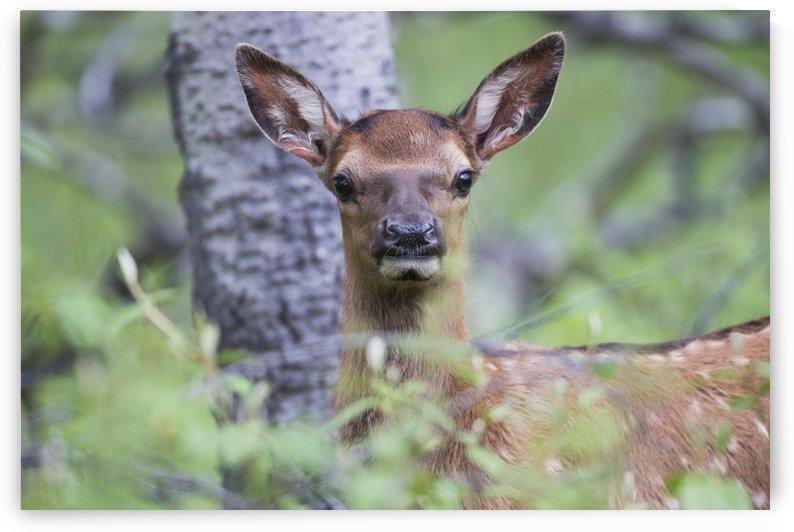 Young elk (Cervus canadensis), Jasper National Park; Alberta, Canada by PacificStock