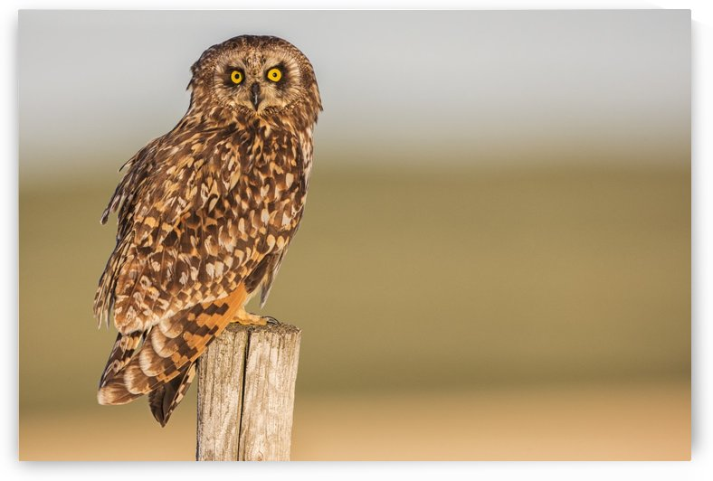 Short earred owl (Asio flammeus) sitting on a fence post; Saskatchewan, Canada by PacificStock