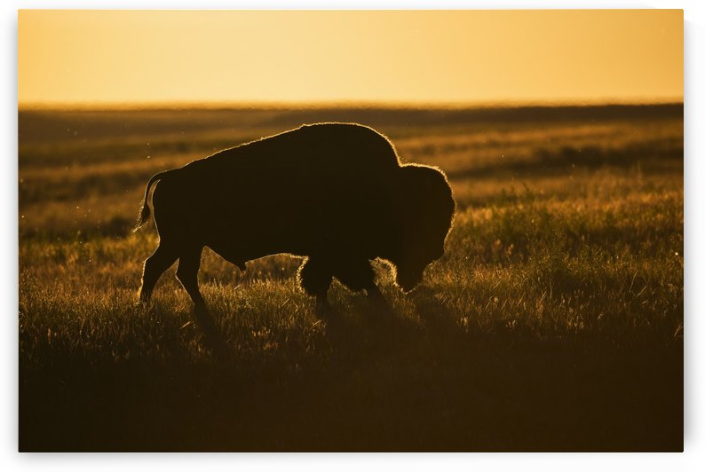 Silhouette of a bison at sunset, Grasslands National Park; Saskatchewan, Canada by PacificStock