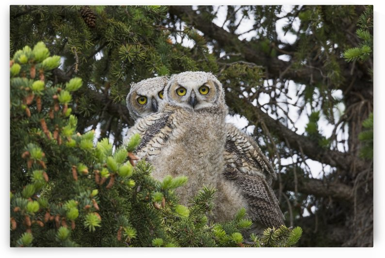 A family of Great Horned Owls (Bubo virginianus) sit in a tree; Saskatchewan, Canada by PacificStock