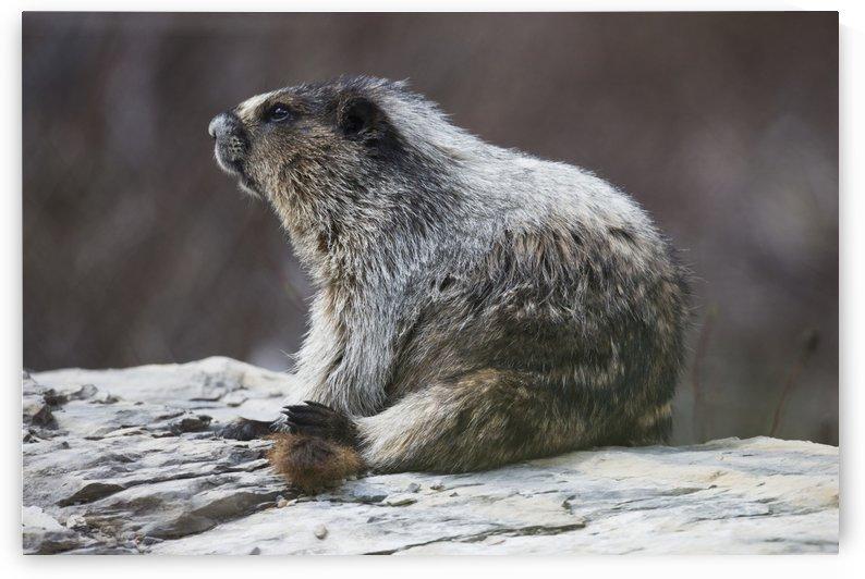 Marmot (Marmota), Yoho National Park; British Columbia, Canada by PacificStock
