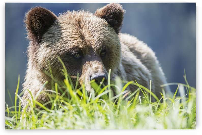 Grizzly Bear (Ursus Arctos Horribilis), Khutzymateen Sanctuary, near Prince Rupert; British Columbia, Canada by PacificStock
