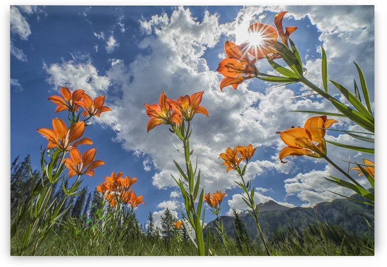 Tiger Liliies (Lilium Columbianum) sway in the wind as the sun filters down through them; British Columbia, Canada by PacificStock