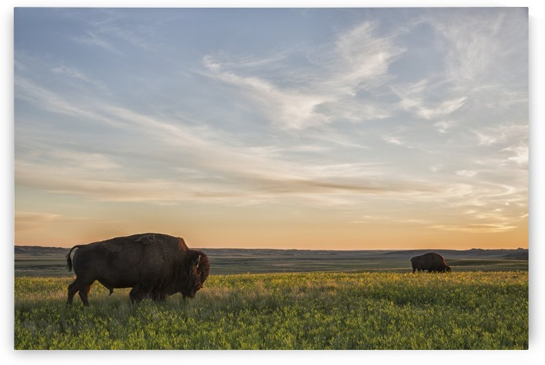 Bison roam the plains at sunset in Grassland National Park; Saskatchewan, Canada by PacificStock