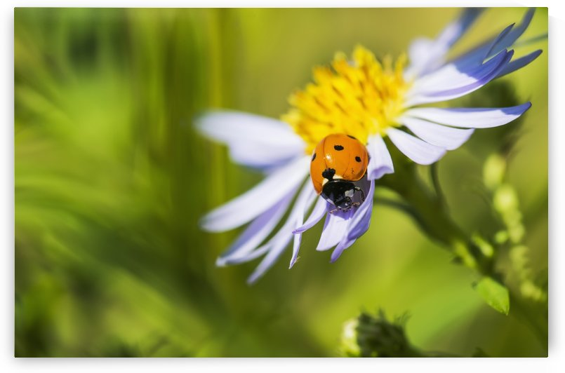 A Ladybug beetle crawls on an aster; Astoria, Oregon, United States of America by PacificStock