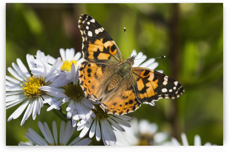 A Painted Lady (Cynthia) butterfly searches for nectar in aster blossoms; Astoria, Oregon, United States of America by PacificStock