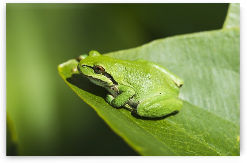 A Pacific Tree Frog (Pseudacris regilla) rests on a Wapato Leaf; Astoria, Oregon, United States of America by PacificStock