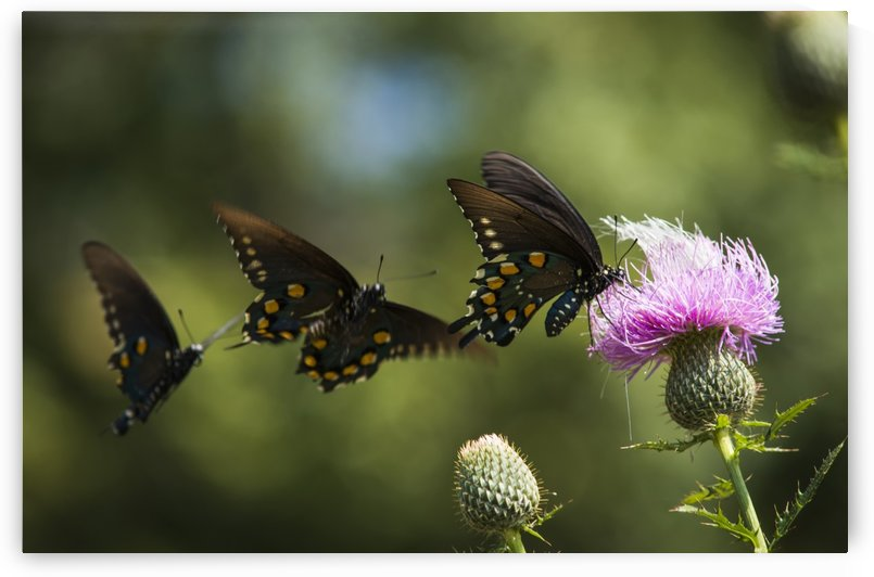 Black Swallowtail Butterflies (Papilio polyxenes) swarm around thistle blossom; Tahlequah, Oklahoma, United States of America by PacificStock