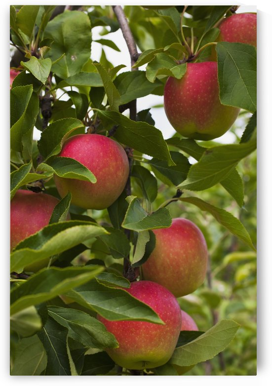 Apples growing on a tree; Rougemont, Quebec, Canada by PacificStock