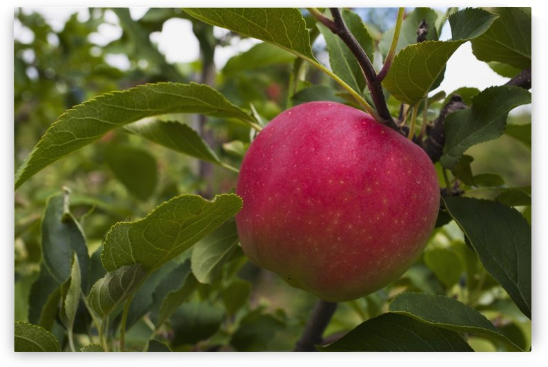 Close up of an apple growing on a tree; Rougemont, Quebec, Canada by PacificStock
