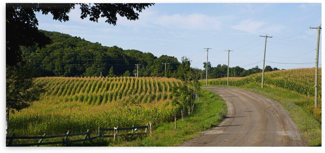 Corn field; Dunham, Quebec, Canada by PacificStock