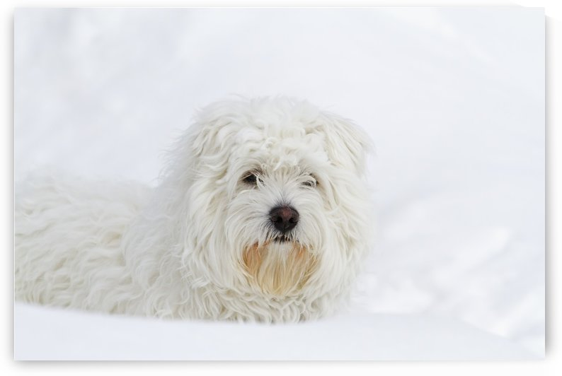 West Highland Terrier sitting on snow; Quebec, Canada by PacificStock