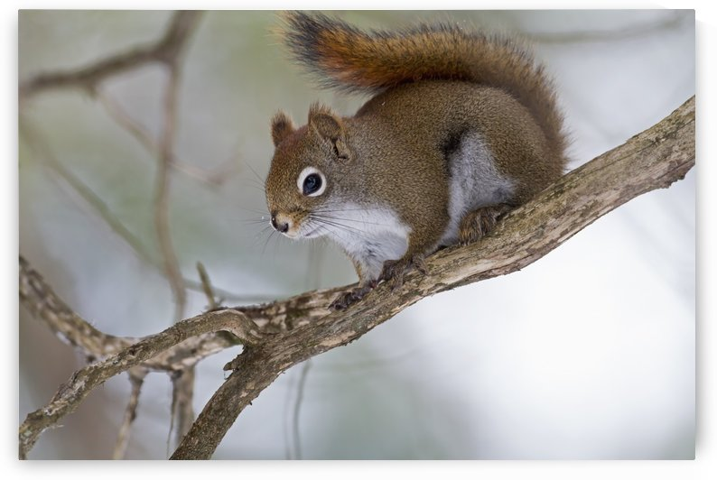 Eastern grey squirrel (Sciurus carolinensis) perched on a branch; Quebec, Canada by PacificStock