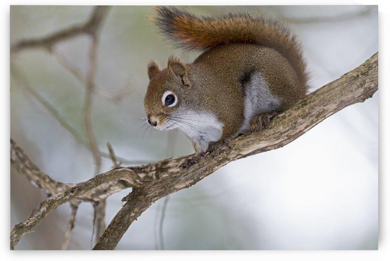 Eastern grey squirrel (Sciurus carolinensis) perched on a branch; Quebec, Canada by PacificStock