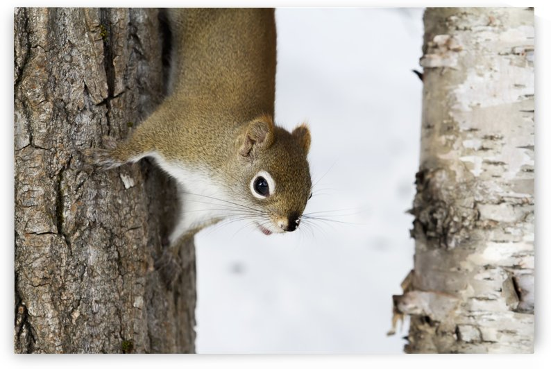 Red squirrel (Tamiasciurus hudsonicus) going down a tree; Quebec, Canada by PacificStock