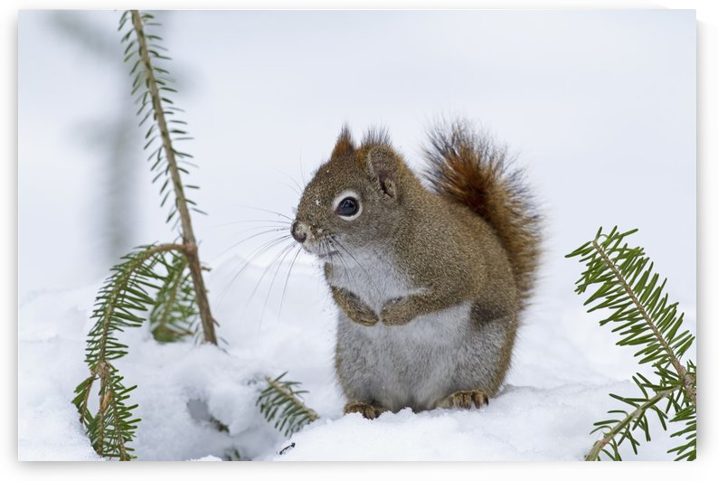 Red squirrel (Tamiasciurus hudsonicus) sitting on snow; Quebec, Canada by PacificStock
