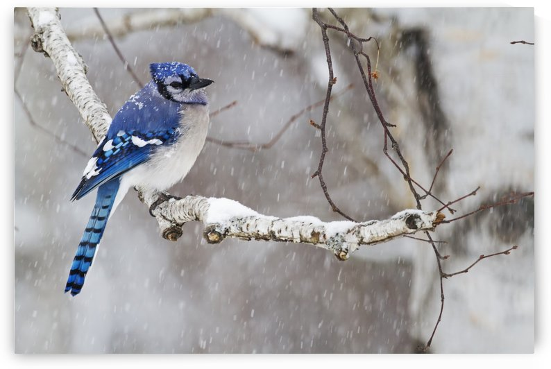 Blue jay (Cyanocitta cristata)perched on a branch under snowfall; Quebec, Canada by PacificStock