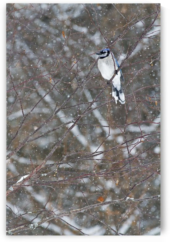 Blue jay (Cyanocitta cristata) perched on a branch under snowfall; Quebec, Canada by PacificStock