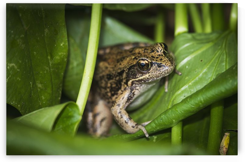 A frog perches on wapato leaves; Astoria, Oregon, United States of America by PacificStock