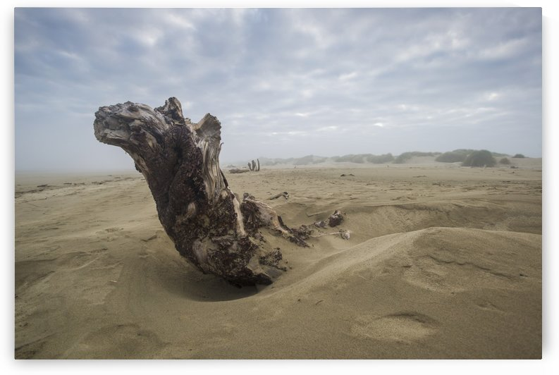 Driftwood amongst the dunes; Oregon, United States of America by PacificStock