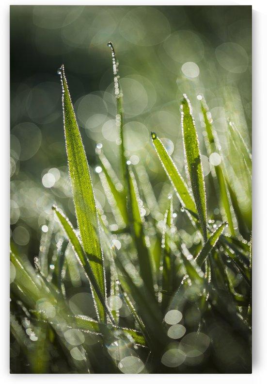 Dew glistens on the grass; Astoria, Oregon, United States of America by PacificStock