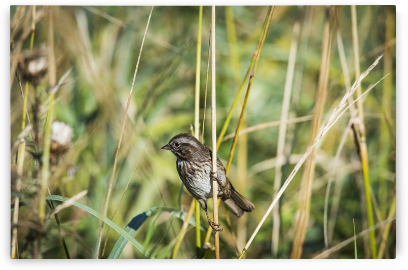 Song Sparrow (Melospiza melodia) perches on a plant; Hoquiam, Washington, United States of America by PacificStock