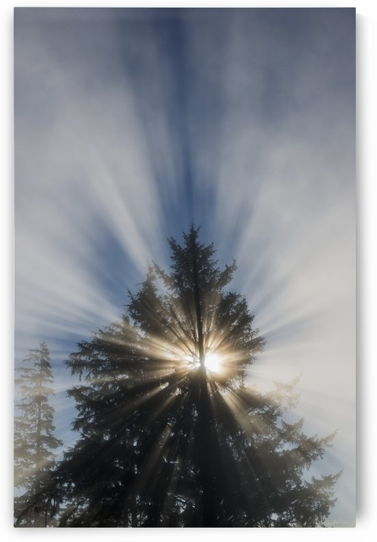 Fog and sunlight make a sunburst in a tree; Astoria, Oregon, United States of America by PacificStock