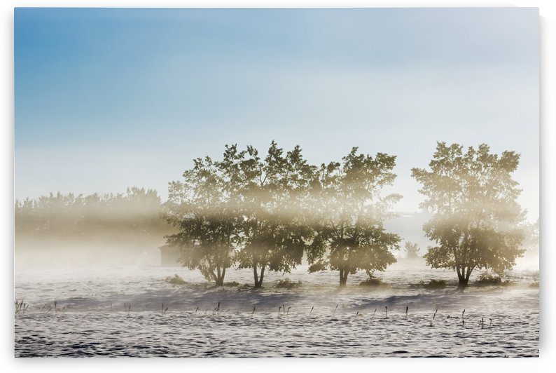 Four trees with leaves in a foggy snow covered field with hazy blue sky; Alberta, Canada by PacificStock