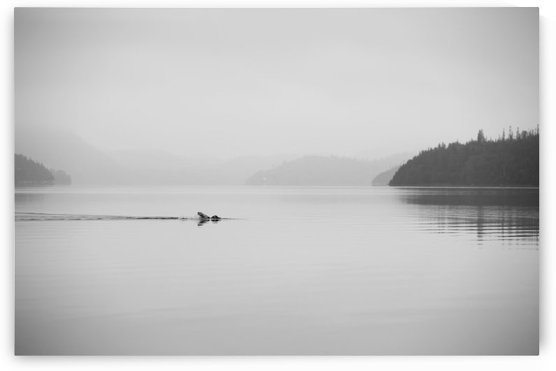 A lone swimmer swims across a calm misty lake; Ontario, Canada by PacificStock