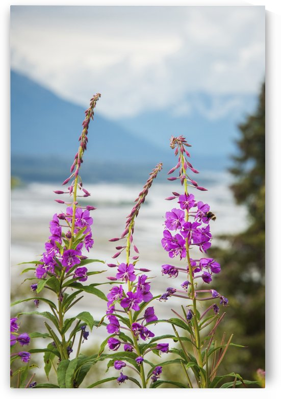 Fireweed (Epilobium angustifolium) with the Alaskan Susitna River in the background. by PacificStock