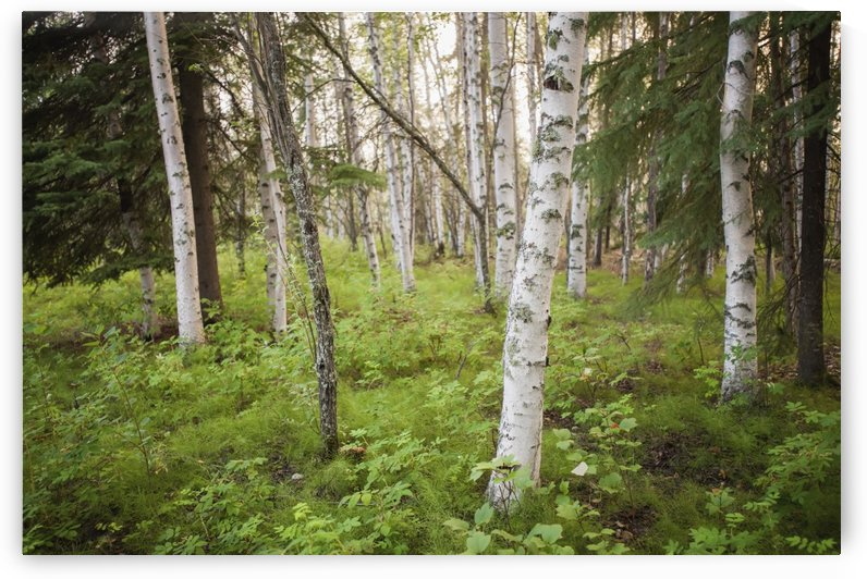 Scenic view of trees and forest understory at Chena Lakes Recreation Area, Interior Alaska by PacificStock