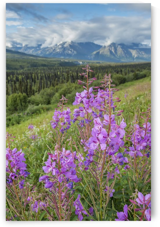 Scenic view of landscape near Palmer, Alaska, with Fireweed (Epilobium angustifolium) in the foreground, Southcentral Alaska, summer by PacificStock