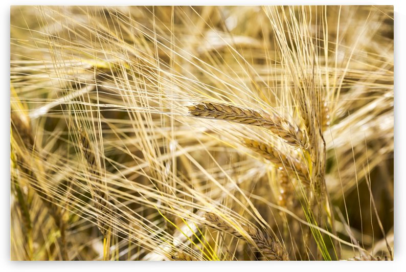 Close up of golden ripe barley heads; Alberta, Canada by PacificStock
