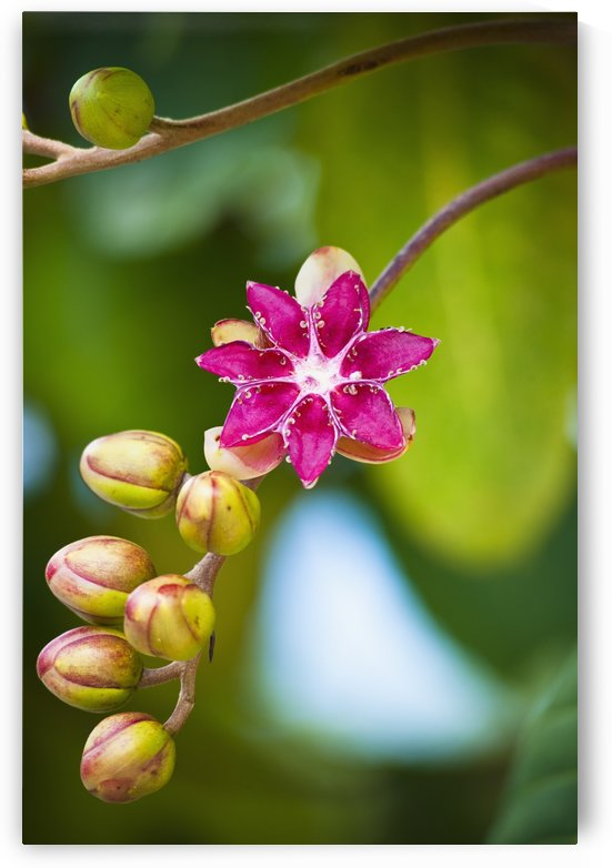 Flower blossoming with buds on a stem; Seria District, Brunei by PacificStock
