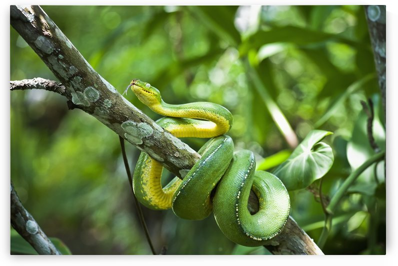 Green tree snake (Dendrelaphis punctulata); Madang Province, Papua New Guinea by PacificStock