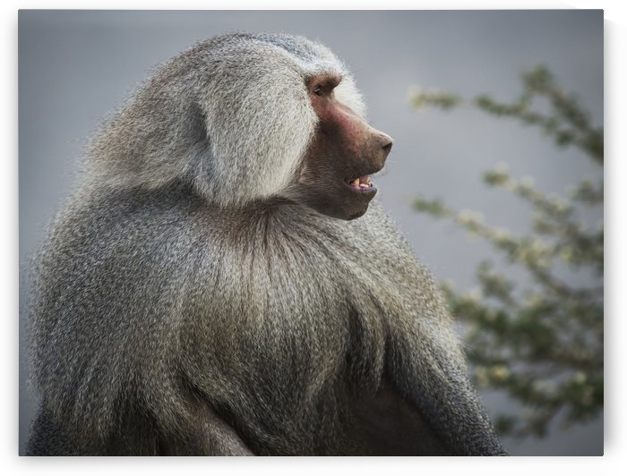 Mountain Baboon; Taif, Saudi Arabia by PacificStock